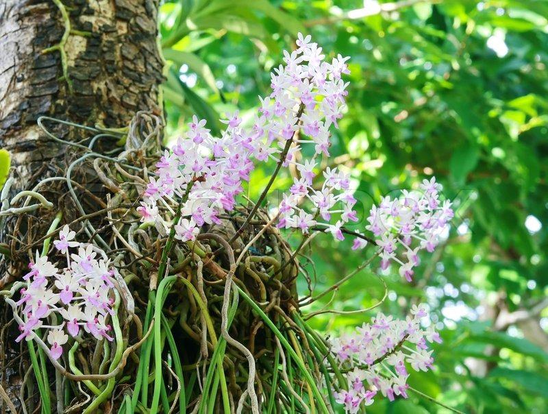 vilde orkideer