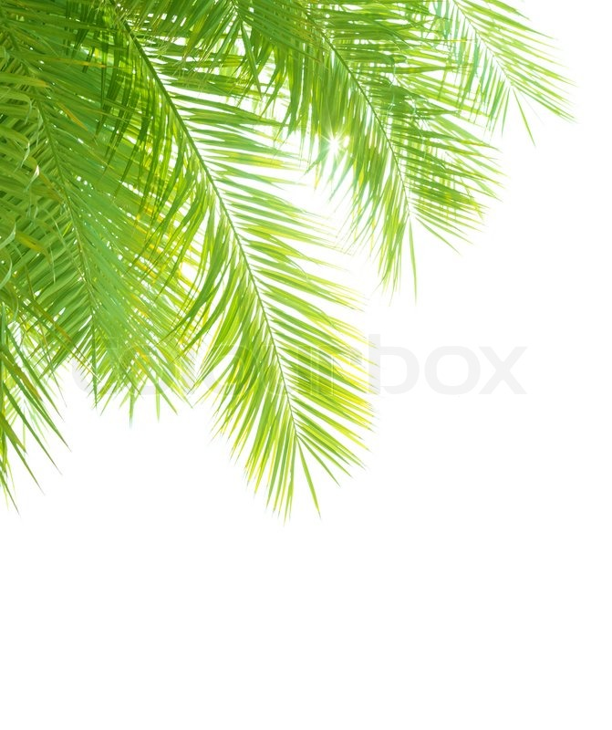 Closeup On Beautiful Fresh Green Palm Tree Leaves Border