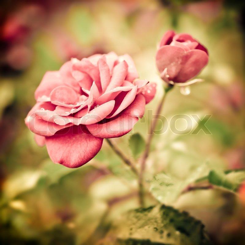 abstrakt romantischen rosa rosen blumen mit wassertropfen floral hintergrund mit weichem. Black Bedroom Furniture Sets. Home Design Ideas