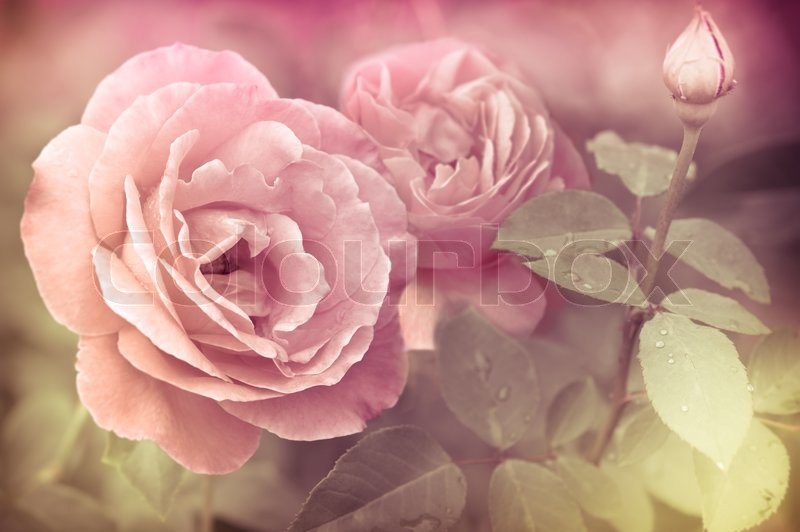 Abstract Romantic Pink Roses Flowers With Water Drops Floral Background Soft Selective Focus Vintage Style Processing Image Coloration