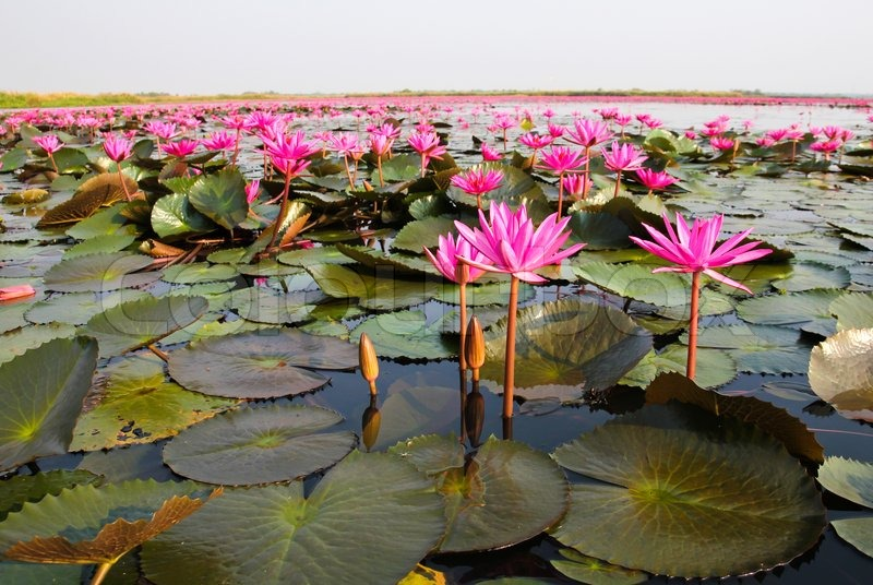https://www.colourbox.com/preview/7244742-the-lake-of-water-lily-udonthani-thailand.jpg