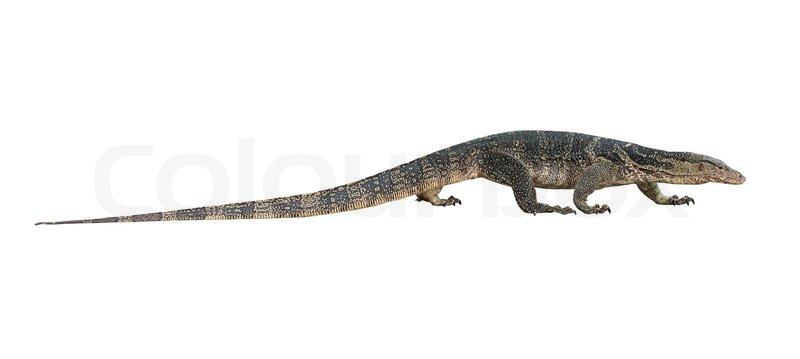 Asian Water Monitor Lizard Stock Photo Colourbox