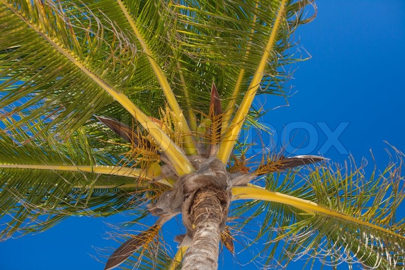 Close-up of tropical coconut palm tree with yellow coconut against the blue sky, stock photo