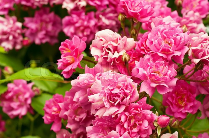Pink peony flowers growing in the garden, floral background, stock photo