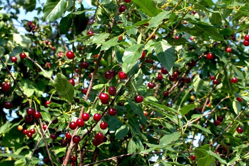 Cherries hanging on a cherry tree branch stock photo colourbox - Romanian cherry tree varieties ...