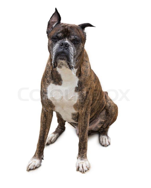 Beste Boxer Hund Anatomie Galerie - Menschliche Anatomie Bilder ...