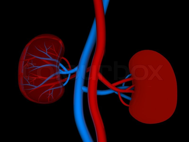 Menschliche Niere medizinischen Diagramm mit einem Querschnitt des ...