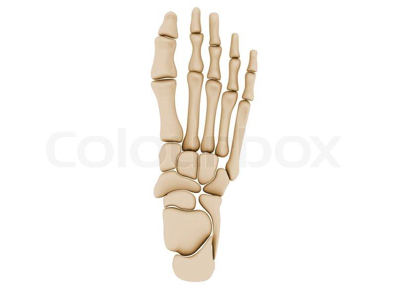 Menschlicher Fuß Knochen | Stockfoto | Colourbox