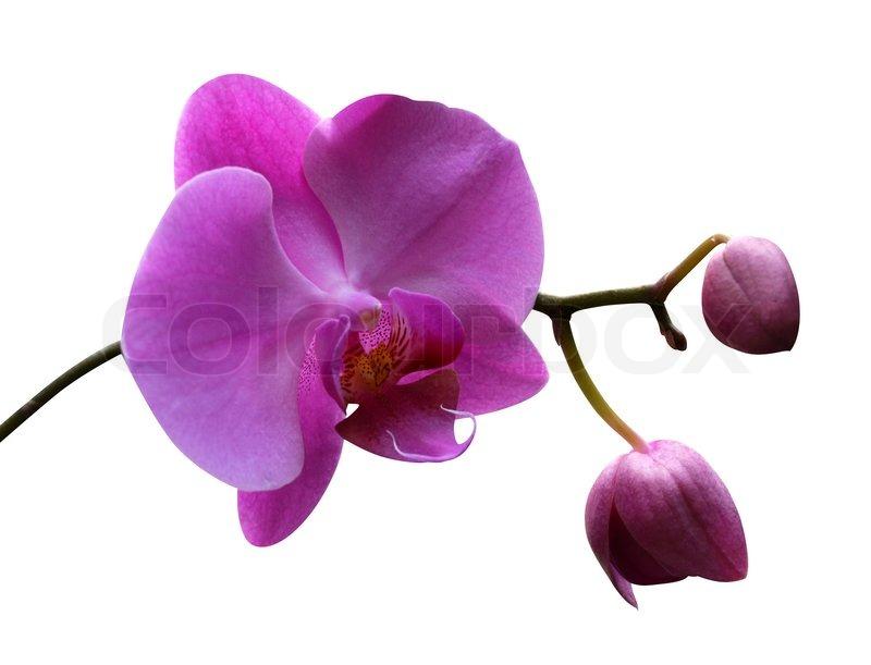 orchidee bl ht isoliert auf wei em hintergrund stockfoto colourbox. Black Bedroom Furniture Sets. Home Design Ideas