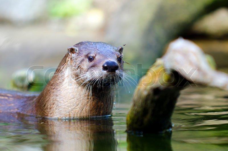 Otter | Stockfoto | Colourbox