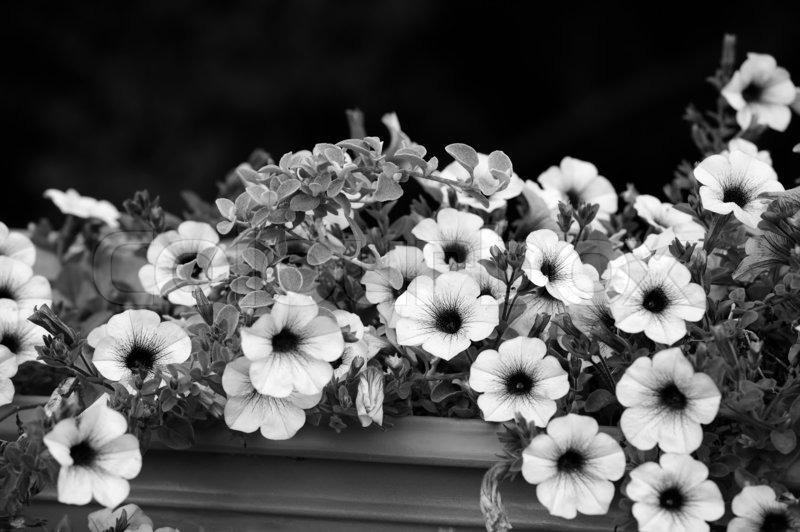 Black And White Petunia Flowers Stock Photo Colourbox