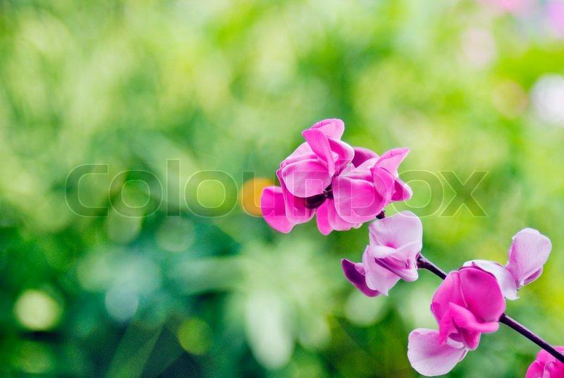 Beautiful pink flowers of wild bean plant stock photo colourbox mightylinksfo