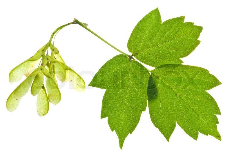 Gemeinsame Asche Baum Samen und grüne Blätter | Stock Bild | Colourbox &WH_56