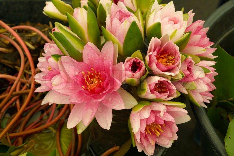 Bouquet of pink lotus flower stock photo colourbox mightylinksfo