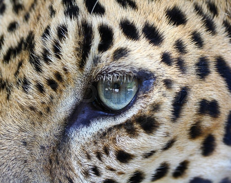 leopard eye close up - photo #1