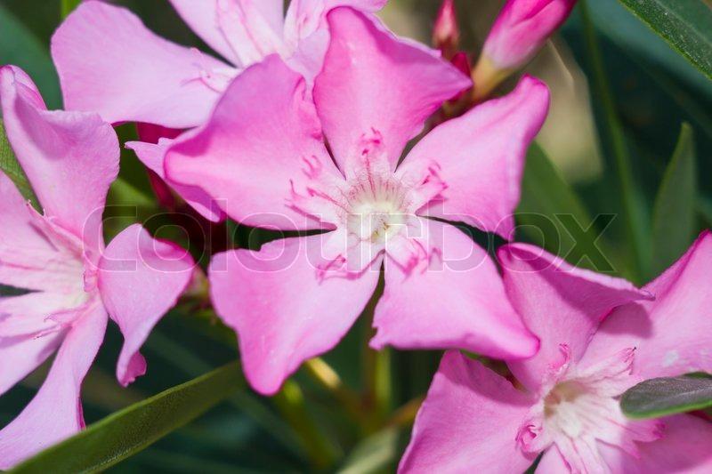 nerium oleander punctatum flowers stock photo colourbox
