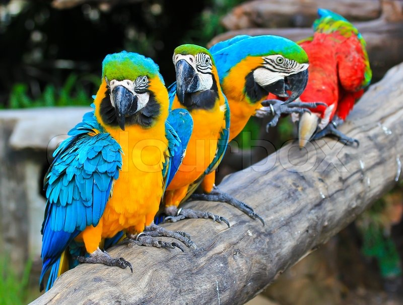 Colorful macaw, stock photo