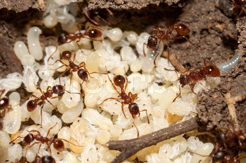 rote ameisen mit wei e eier auf ameisenhaufen stockfoto colourbox. Black Bedroom Furniture Sets. Home Design Ideas