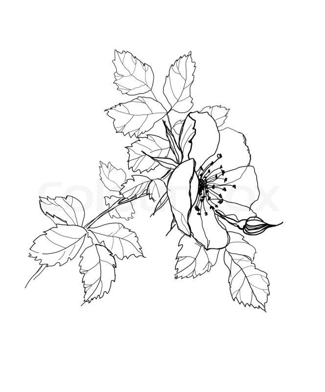 Rosen bleistiftzeichnung  Rose Blume Bleistiftzeichnung | Stockfoto | Colourbox