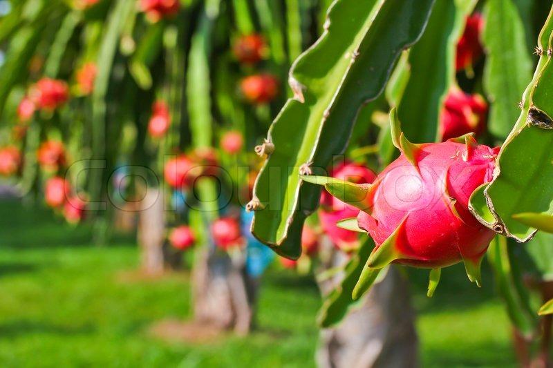 Drachenfrucht Im Garten