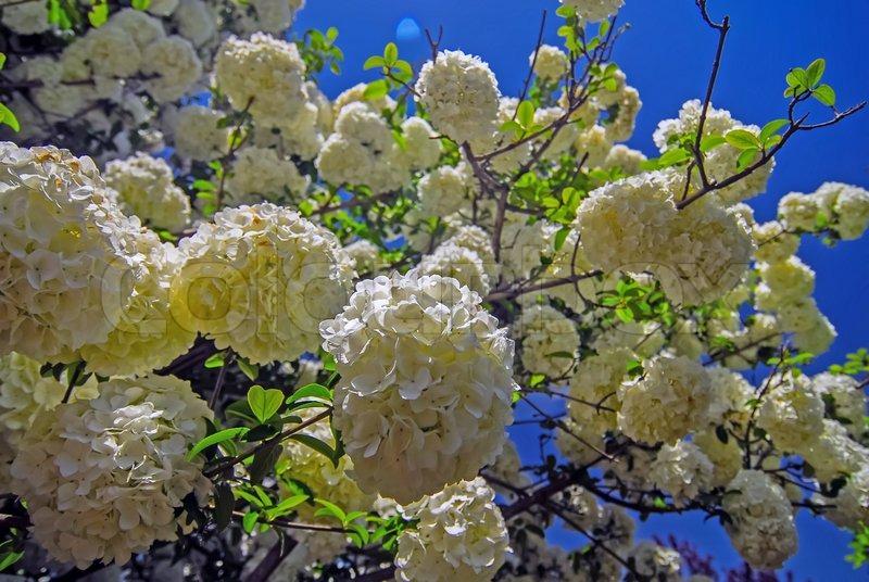 busk hvide blomster