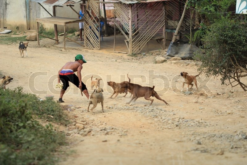All senses should be alert in this dogs fight... Human senses and instincts are all part of its animal nature. A boy fights with the dogs in Loma Miranda, Bonao, Dominican Republic, stock photo