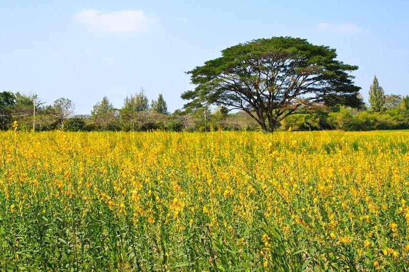 Big tree in the yellow flower farm stock photo colourbox mightylinksfo