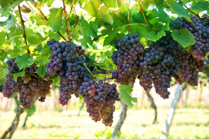 Purple red grapes with green leaves on the vine. vine grape fruit plants outdoors with sunbeams, stock photo