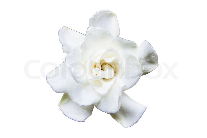 Flowering Gardenia on a white background, stock photo