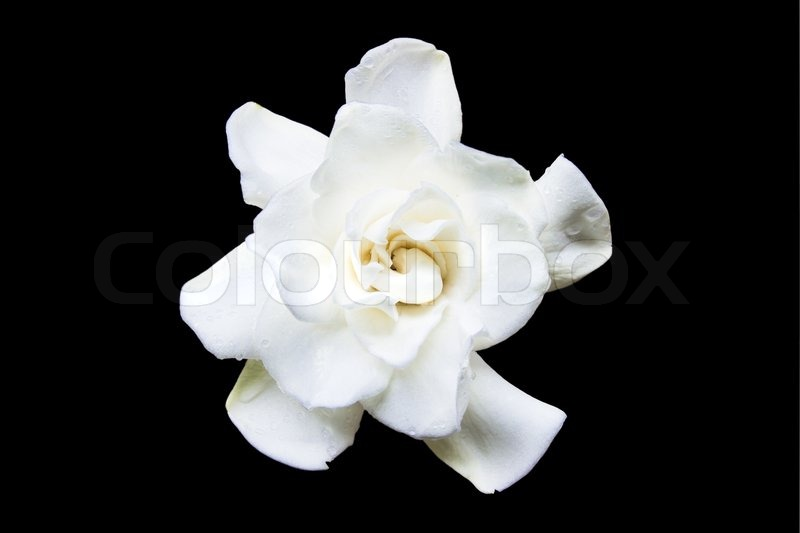 Flowering Gardenia on a black background, stock photo
