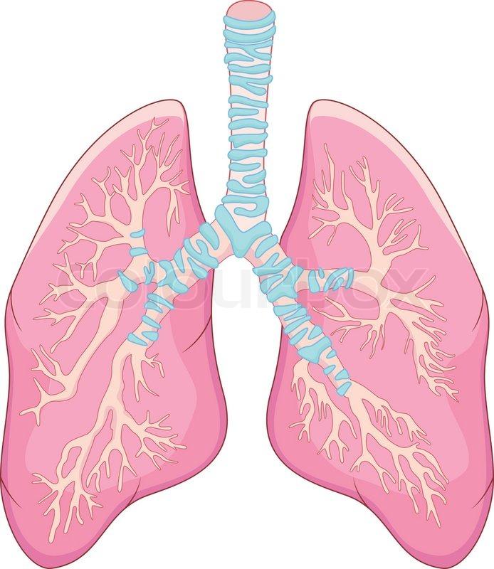 Anatomie der menschlichen Lunge | Vektorgrafik | Colourbox