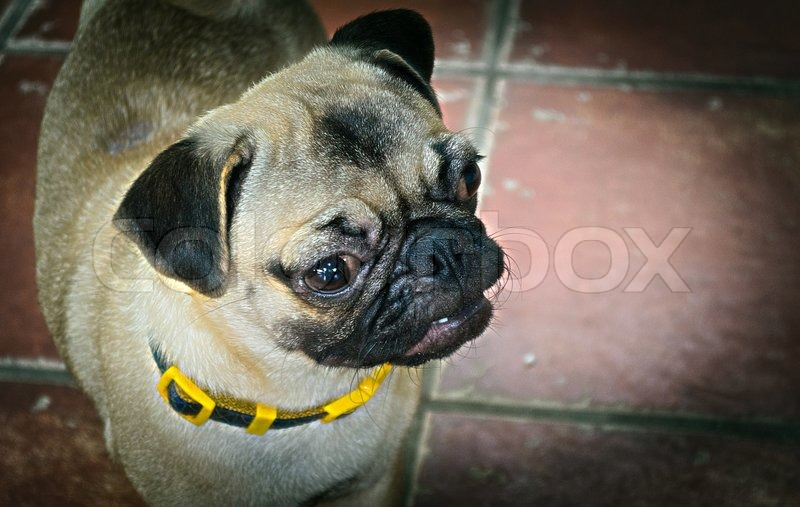 The Pedigree of Friendly Cute Puppy Dog, stock photo