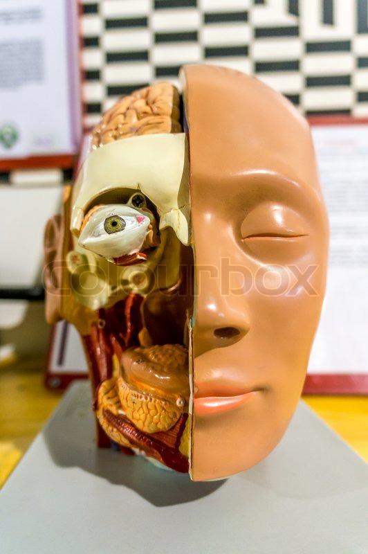 Nahaufnahme der Anatomie Gesicht | Stockfoto | Colourbox