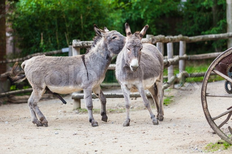 Two donkeys | Stock Photo | Colourbox
