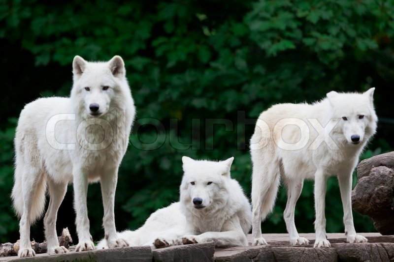 Arctic Wolves, stock photo