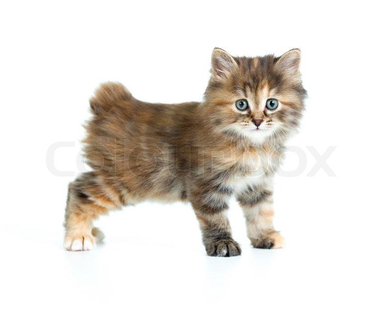 Kurilen Bobtail Schildpatt Fellfärbung Kätzchen suchen direkt zur ...