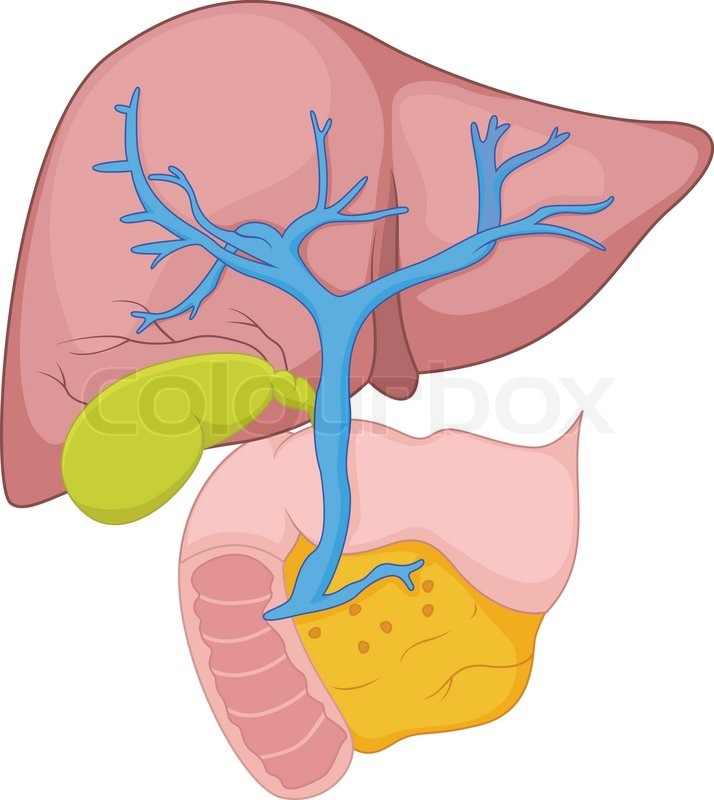 Vector Illustration Of Human Liver Anatomy Stock Vector Colourbox
