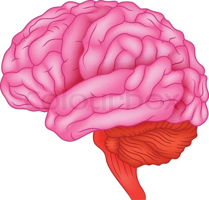 Anatomie des menschlichen Gehirns | Vektorgrafik | Colourbox