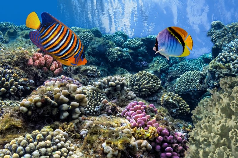 Tropical fish on coral reef in the red sea stock photo for Reef tropical fish