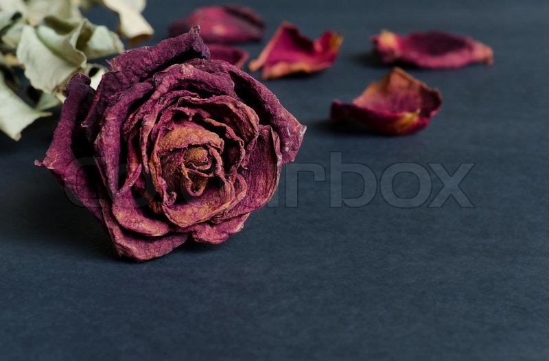 Single dried rose, Dead rose with text area, stock photo