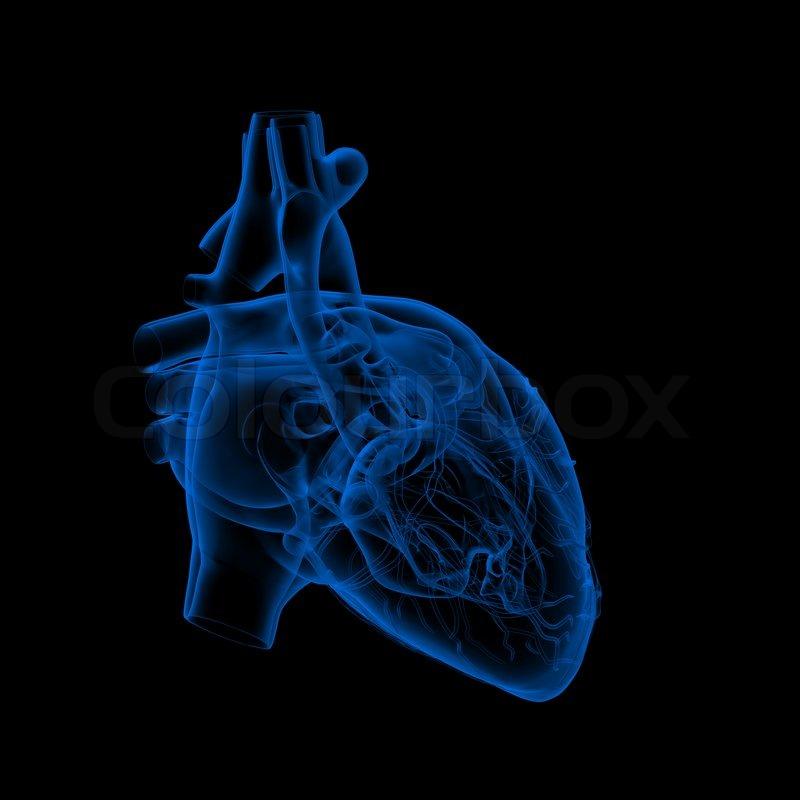 Menschliche Herz - Anatomie - Vorderansicht | Stockfoto | Colourbox
