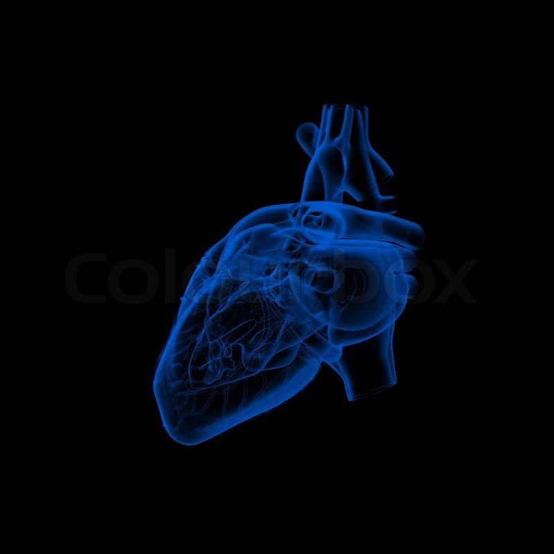 Menschliche Herz - Anatomie - Seitenansicht | Stockfoto | Colourbox