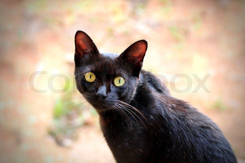 sch ne schwarze katze mit ausdrucksvollen braunen augen starrt in die kamera stockfoto colourbox. Black Bedroom Furniture Sets. Home Design Ideas