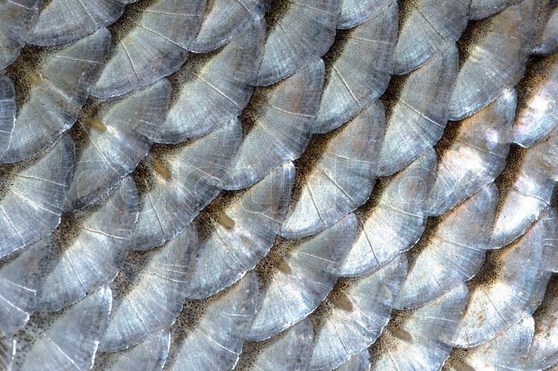 fischschuppen stock bild von echter roach makro hintergrund fliesen kaufen