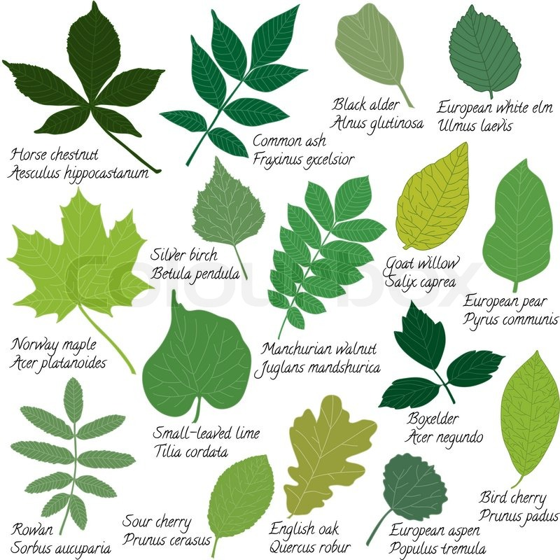 Translations Into Italian: Collection Of Different Leaves Isolated On White