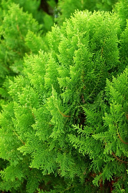 Leaves Of Pine Tree Or Oriental Stock Image Colourbox