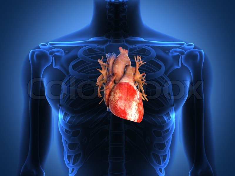 Human heart anatomy from a healthy body | Stock Photo | Colourbox