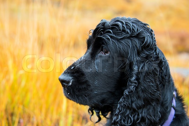 mature-loose-black-cocker-spaniel-picture-teaming-hot