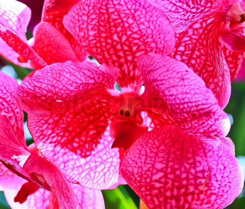 gratis ografi orkide thai
