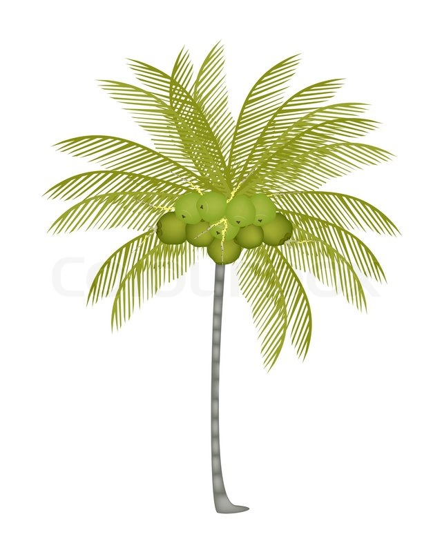 A Palm Tree With Fresh Green Coconuts
